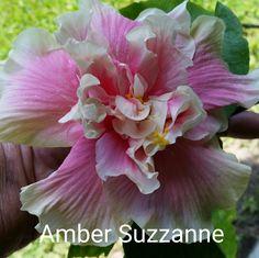 Amber Suzzanne Hibiscus