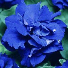 25-50-100-200 Beautiful Blue Petunia Flower Seeds - Buy Any 3 Get 1 FREE!!