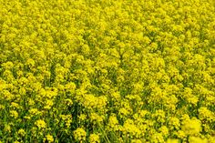 Yellow rapeseed flowers field by salmon.black on @creativemarket