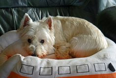 Westies are quite camera aware!