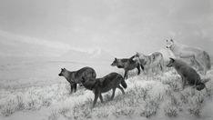 Hiroshi Sugimoto  'Alaskan Wolves', 1994