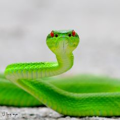 White-lipped Pit Viper ready to strike. by bug eye :), via Colorful Animals, Cute Animals, Colorful Snakes, Pit Viper, Beautiful Snakes, Fotografia Macro, Tier Fotos, Mundo Animal, Reptiles And Amphibians