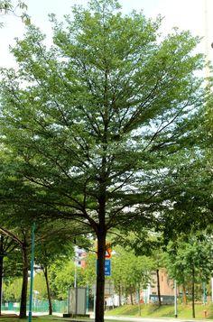 bucida tree - Tìm với Google