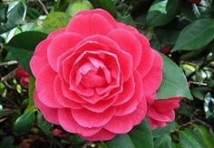 Flowers delivery in Moscow: Camelia - Alabama Flower Most Beautiful Flowers, Rare Flowers, Flowers Nature, Pretty Flowers, Colorful Flowers, Unusual Flowers, Flower Names, Rare Plants, Exotic Plants