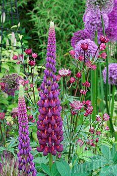 allium 'purple sensation', allium 'gladiator', lupine 'masterpiece, astrantia 'major claret'