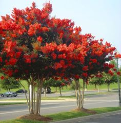 Red Rocket Crape Myrtle Plant - THE FASTEST GROWING CRAPE MYRTLE! Long lasting red blooms,Highly drought tolerant,Resistant to mildew. Red Rocket Crape Myrtles can grow up to 5 feet or more a year, and give you abundant blooms. 20'-30' H x15'-20'W feet.  beautiful red flowers from early July to September...zones 6-9