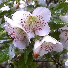Eucryphia Intermedia Fragrant white flowers in late summer Likes acid soil, good with rhodos Likes moist well drained soil Sun with their feet in the shade, a sheltered location H 20'-25' W to 15'