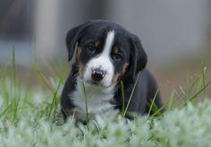 Appenzeller Sennenhund, puppy, Swiss mountain dog wallpaper