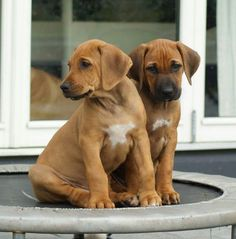 Puppies Cute Puppies, Cute Dogs, Dogs And Puppies, Duck Hunting Dogs, Lion Dog, Cute Dog Pictures, Different Dogs, Dog Items, Rhodesian Ridgeback