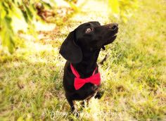 Flying Fig Photography #dog #bowtie #photography