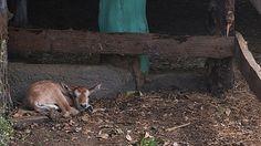 El Zoológico Benito Juárez, reportó este miércoles el nacimiento de un Antílope Orix de cuernos de cimitarra, especie que actualmente se encuentra extinta de la vida silvestre en el norte ...