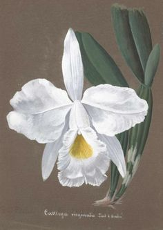 Orchid illustrations taken from 'Collection d'orchide' Missouri Botanical Garden.