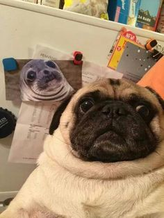"""animal-factbook: """"When confronted in an awkward situation, pugs will push its head back and express a concerned look. This evolutionary trait has been passed down for over a dozen generation of pugs. Pug Love, I Love Dogs, Cute Dogs, Baby Animals, Funny Animals, Cute Animals, Pug Pictures, Animal Pictures, Pug Pics"""