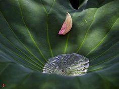 Pluie et lotus