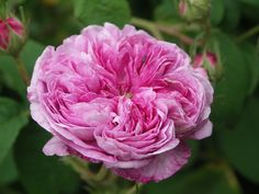 """"""" Aimable Amie """" - Gallica rose - Deep pink - Strong fragrance - Pépinières du Trianon (France), before 1818"""
