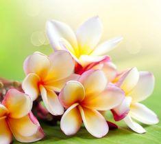 Плюмерия из бисера  Плюмерия из бисера — довольно простой цветок, которые вы можете сделать своими руками, поэтому он хорошо подойдёт для начинающих мастериц. Цветной бисер сделает изделие более ярким и оригинальным.  #бисероплетение #плетениебисером #рукоделие #мастеркласс #плетениебисеромнапроволоке #поделки #цветы #цветыизбисера #плюмерияизбисера #плюмерия #плюмерииизбисера #плюмерии