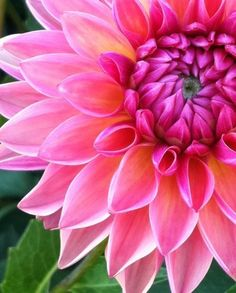 Love Pink Always / Pink Dahlia happy day out