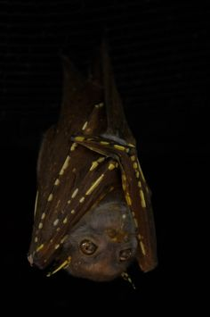 Eastern Tube-nosed bat (Australia)