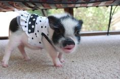 3-11-12-Below is a photo of our Teeny Tiny Tina, a Miniature Pot Belly pig ...