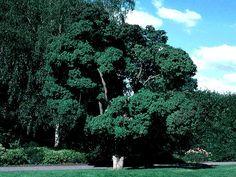 Cotinus obovatus (American Smokebush) Seed Description