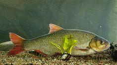 KUVAT: Tunnistatko Suomen yleisimmät kalat? Testaa tietosi!
