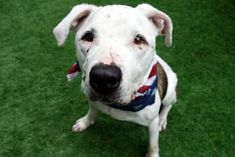 ♦ KILLED 09-01-18 ♦ DUMPED SECOND TIME BY HEARTLESS OWNER ♦ RTO ♦ GENTLE FELLOW - CHAZ (9162) is 5 years old male American Pit Bull who came to Manhattan Center as a STRAY. Volunteer writes: I loved meeting this sweet guy. His tail wags, his eyes twinkle… His sweet face is all smiles, he sits when asked, and then showed me he knows 'down'. EASY & GENTLE, this handsome guy is ready to settle down with his new bestie for a lifetime. ♥ http://nycdogs.urgentpodr.org/chaz-9162/