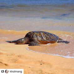 Går det litt tregt mot helgen? #reiseliv #reisetips #reiseblogger #reiseråd  #Repost @kholmang with @repostapp  It's been exactly one year since I met this green sea turtle at Poipu Beach on Kauai Hawaii