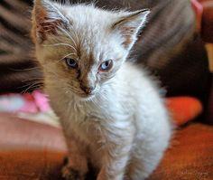 Siamese rescue, former feral kitten. Feral Kittens, Siamese Kittens, Cute, Animals, Animales, Animaux, Kawaii, Animal, Animais