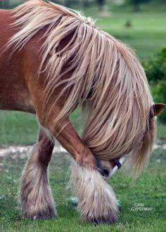 Gypsy MVP Allana   Gypsy Vanner Horse   Mare   Chestnut