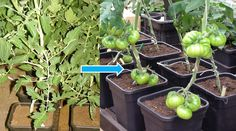 Customer Quadgrow Update: Thank you Michael Loughrey for keeping us up-to-date with your Black Russian tomato plants! They have made outstanding progress in just 4 weeks and his plant is full of fabulous tomatoes. When ripe, these tomatoes turn a stunning dark mahogany colour and has a tasty smoky flavour. http://www.greenhousesensation.co.uk/quadgrow.html