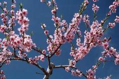 Root cherry tree cuttings