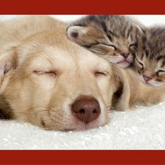 Cuddling Dog and Kittens Photographic Art Print on Canvas East Urban Home Pet Websites, Framed Art Prints, Canvas Prints, Dog Cuddles, Dog Background, Les Reptiles, Video Chat, Image Chat, Sleeping Kitten