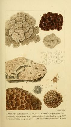 Plates — Manuel d'actinologie ou de zoophytologie — Biodiversity Heritage Library