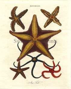 starfish illustration - Google Search