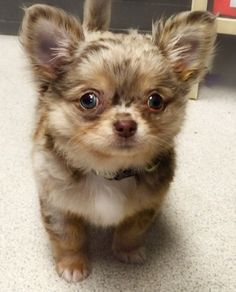 """This ADORABLE puppy was entered in our ThanksGiveaway contest in the Cutest Puppy category.""""No bigger than a handful, he is a handful and loves playing with anything and everything!""""from Baltimore Animal Rescue and Care Shelter (BARCS)"""