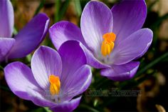 first sign of spring...purple crocus