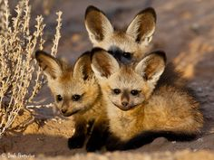 Bat-eared fox pups.  Get to see these every so often on various SA roads. Photo by Isak Pretorius
