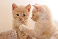 kittens8weeks-0315 by Elite Forces of Fuzzy Destruction @ Flickr