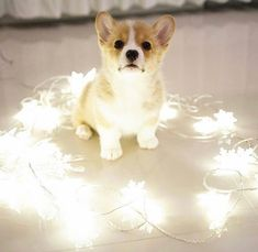 Corgi Angel ❣️