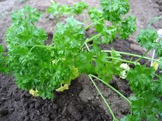 Parsley Dressing -Try this flavorful dressing on a salad of mixed greens or other mild-flavored salad combination.