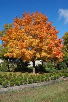 Fall Fiesta Sugar Maple Tree