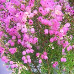 Erica Melanthera ♡ Flowering Shrubs, Small Plants, Garden Plants, Sea Shells, Pallet, Gardens, Flowering Bushes, Shed Base, Seashells