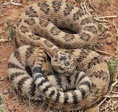 Great Basin Rattlesnake