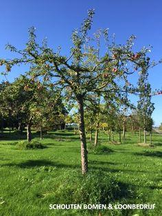 Oude appelboom Groninger Kroon uit het assortiment van Schouten Bomen & Loonbedrijf Golf Courses, Plants, Google, Plant, Planets