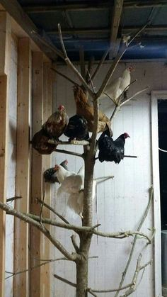 Chicken perches - Use a small tree in the coop! Chicken perches - Use a small tree in the coop! Chicken Coop Designs, Cute Chicken Coops, Inside Chicken Coop, Chicken Coop Large, Chicken Coop Decor, Backyard Chicken Coop Plans, Building A Chicken Coop, Chickens Backyard, Backyard Coop
