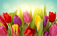 Wallpaper tulips, flowers, red, pink, yellow, buds, leaves, light, spring wallpapers flowers - download