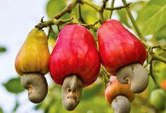 Zambezi Cashew Nuts