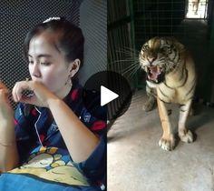 How to make a tiger calm