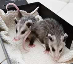 Please be an Advocate for *positive* change in North Carolina!  Please help stop the use of a 'live' opossum at the Brasstown, NC 'Possum Drop'!  SIGN & SHARE this petition!!!!  http://www.change.org/petitions/say-no-to-the-possum-drop-in-nc#share?utm_medium=email_source=notification_campaign=new_petition_recruit