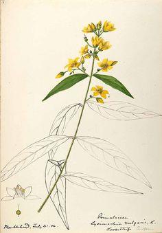 206337 Lysimachia vulgaris L. / Sharp, Helen, Water-color sketches of American plants, especially New England, (1888-1910) [Helen Sharp]
